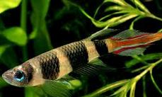 Ikan Hias Air Tawar Terindah warna ekor api roket