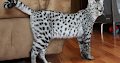 Important Facts about Savannah Cat You Must Know