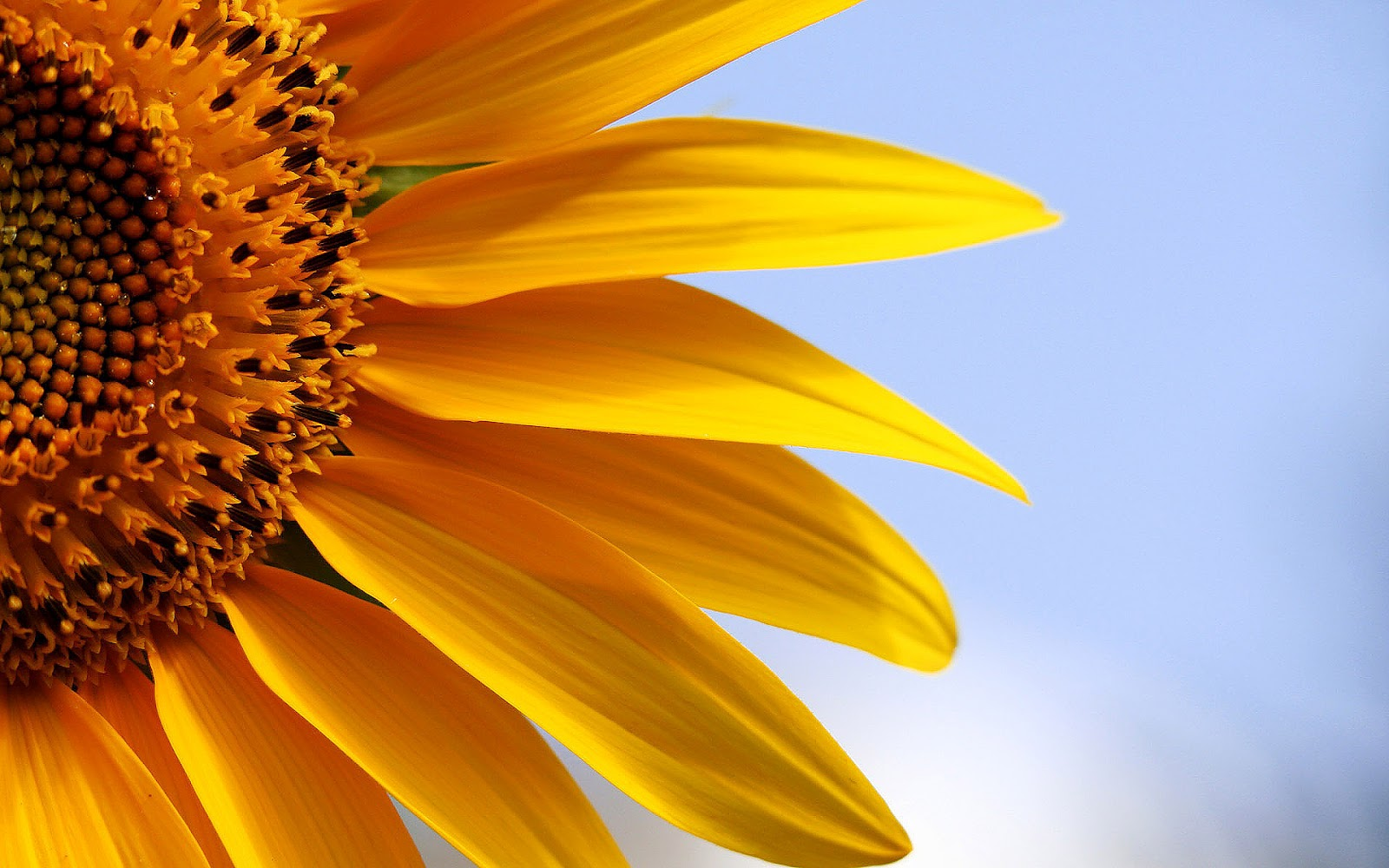 3d Sunflower Wallpaper Hd Sunflowers Wallpapers Top Best Hd Wallpapers For Desktop