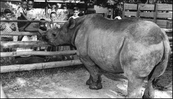 Rinoceronte Cacareco: Eleito para vereador em São Paulo, outubro de 1959
