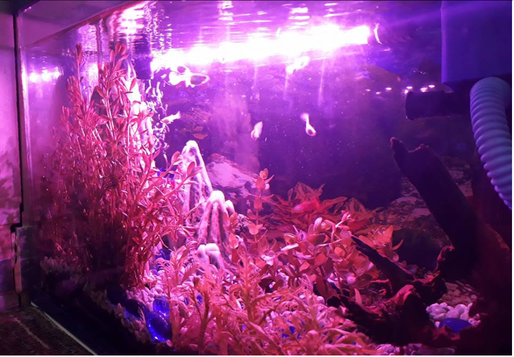 Không nên dùng đèn màu cho hồ thủy sinh