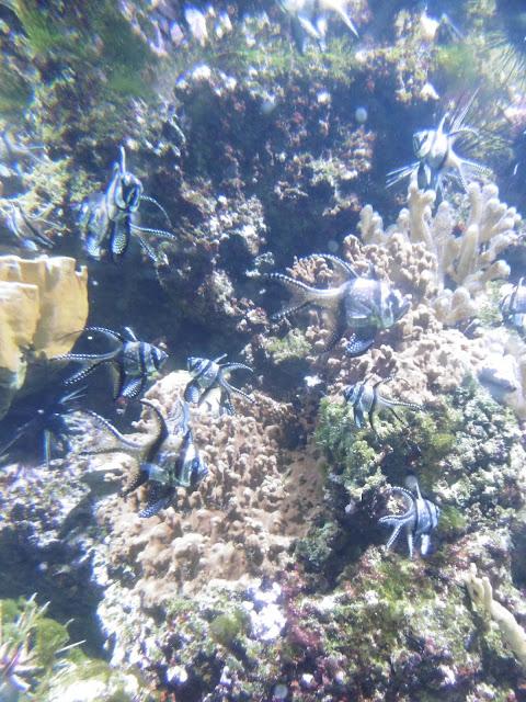 En pointillés, aquarium de la Rochelle, malooka