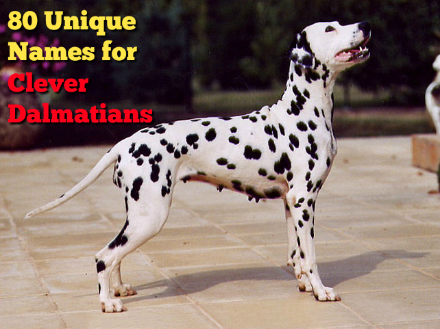 80 Unique Names For Clever Dalmatian Puppies The Modern Bark Dog Training Tips
