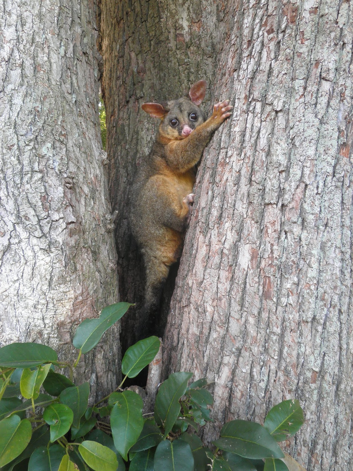 Picture of a possum climbing a tree.