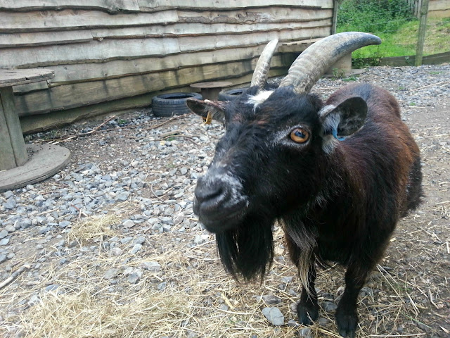 Pygmy Goat with Huge Eyes, Wild Place, Bristol