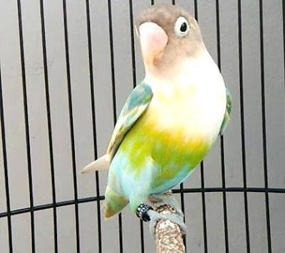 http://www.mediainformasi.online/2017/12/ciri-ciri-fisik-burung-lovebird-ngekek.html
