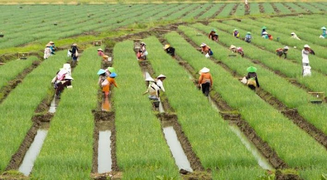 Pengertian, Tujuan, Keuntungan serta Dampak Negatif dan Positif Pelaksanaan Program Revolusi Hijau Pada Masa Orde Baru di Indonesia