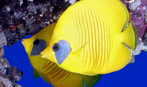 Dunia Ikan Hias - Butterfly Fish