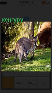 На поляне стоит кенгуру и в сумке у неё находится детеныш