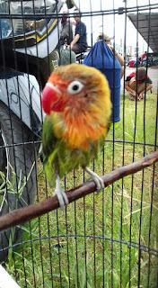 Settingan Lovebird Paud Pakai Untulan