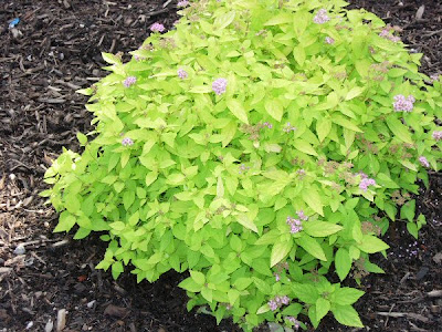 A guide to northeastern gardening feature spring for Small flowering shrubs for full sun