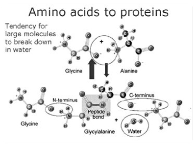 Amoni acids to proteins