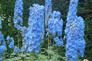 Dephiniums at Newby Hall