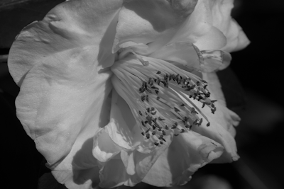 a black and white picture of a camellia