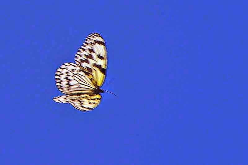 Paper Kite Butterfly,fluttering in blue skies, Tsuken Jima, Okinawa