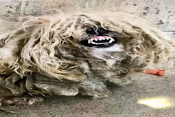 This poor dog is so severely matted, it hurts just to move