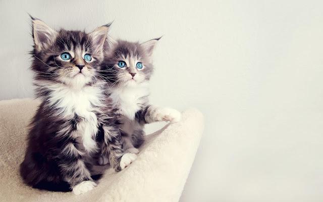 Twee jonge katjes met blauwe ogen
