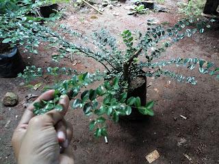 tanaman mirten