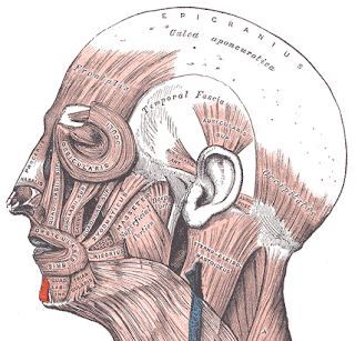 mentalis muscle,