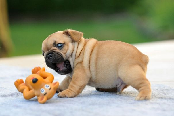 bulldog-puppy-cute-dog-photography-6