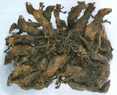 Seorang raja tikus dipelihara di museum Mauritianum di Altenburg, Jerman. Kredit foto: Wikimedia