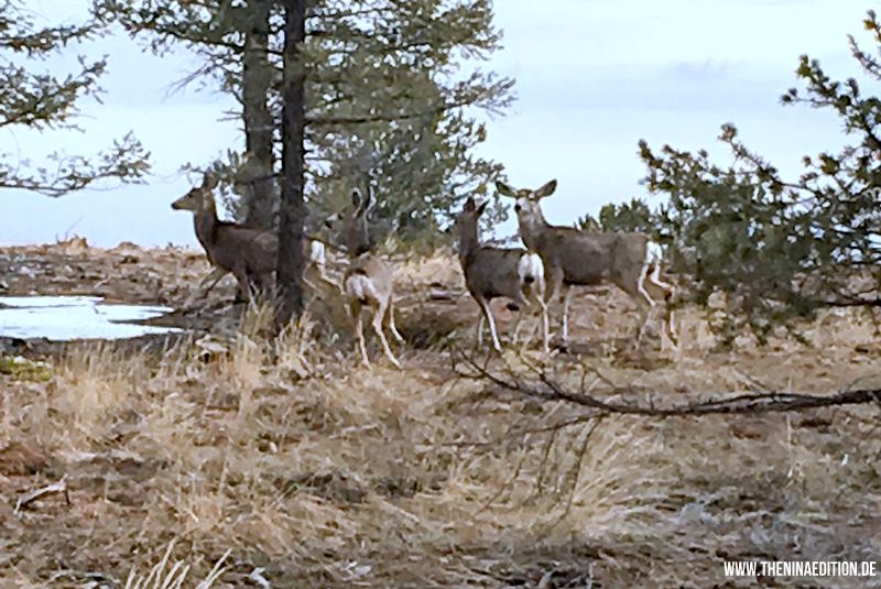 Colorado Springs - Deers / Hirsche auf dem Pikes Peek