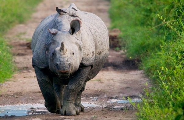 One horned rhinoceros at Kaziranga National Park (photo - Nassif Ahmed)