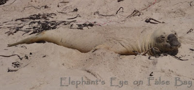 Before in his old silver coat  Buffel was hard to see against the sand