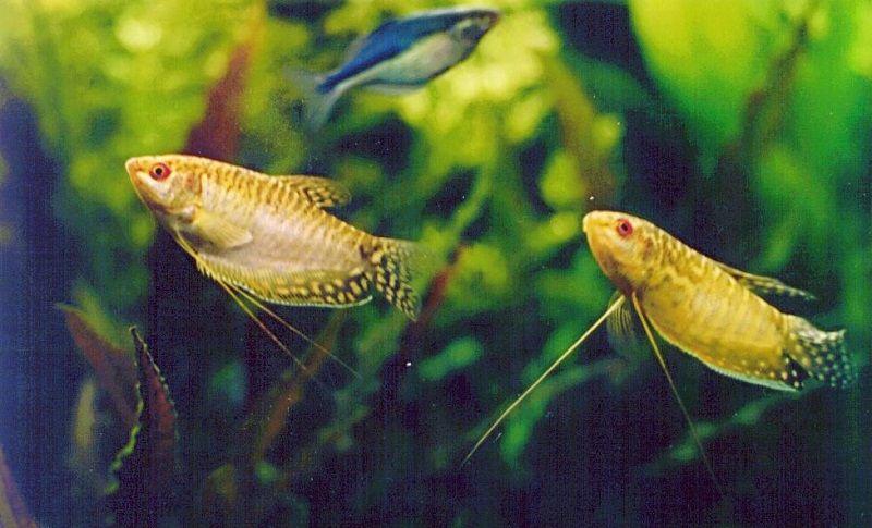 Image Ikan Sepat Hias Kuning