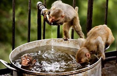 gambar unik monyet mandi