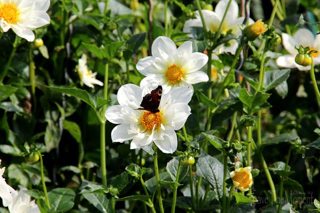 Blumengärten Insel Mainau, Bodensee Schmetterling