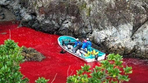 massacre-dauphins-sea-shepherd