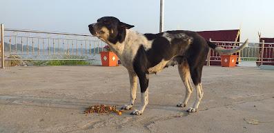 Strassenhund Thailand
