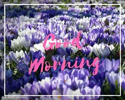 good morning flowers photos with crocus garden