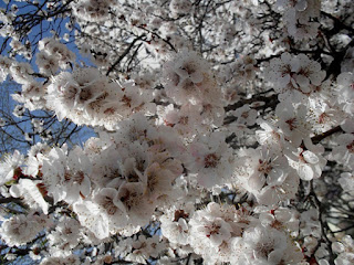 more than 100 apricot blossoms