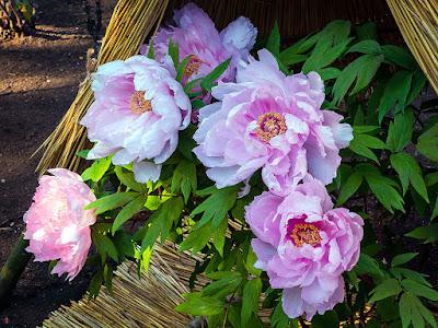 Winter-peony flowers: Tsurugaoka-hachimangu