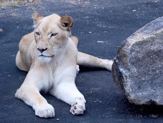 Gambar Singa Putih