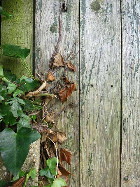 Dead Ivy against a wooden back gate