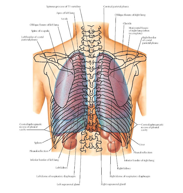 Topography of Lungs: Posterior View Anatomy  Spinous process of T1 vertebra, Apex of left lung, 1st rib, Oblique fissure of left lung, Spine of scapula, Left border of costal parietal pleura, Cervical parietal pleura, Oblique fissure of right lung, Clavicle, Horizontal fissure of right lung (often incomplete), Right border of costal parietal pleura Costodiaphragmatic recess of pleural cavity, Liver, Pleural reflection, Inferior border of right lung, Right kidney, Right dome of respiratory diaphragm, Left suprarenal gland Right suprarenal gland, Left dome of respiratory diaphragm, Left kidney, Inferior border of left lung, Pleural reflection, Spleen, Costodiaphragmatic, recess of pleural cavity.
