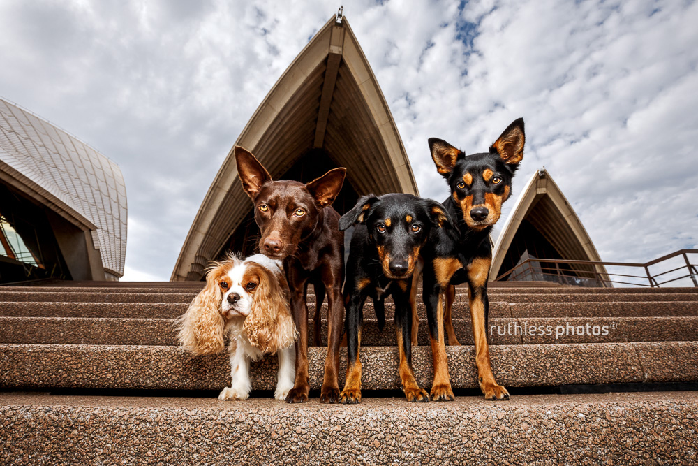 Tails of Sydney photography book showing four dogs on the steps of Sydney Opera House