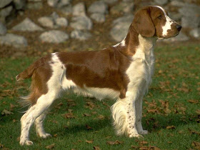 Springer spaniel brown