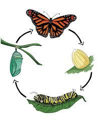 بحث حول الفراشة