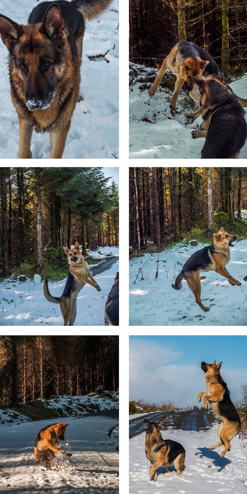 Collage of photos of German Shepherds in the winter playing games.