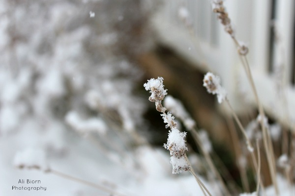 Stem of Lavender flower with snow crystals