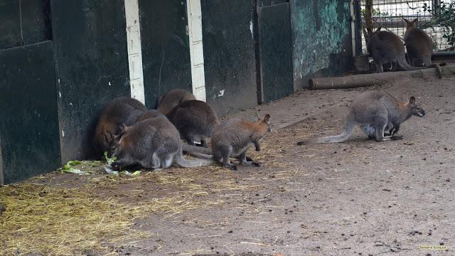 Kangoeroes in dierentuin.