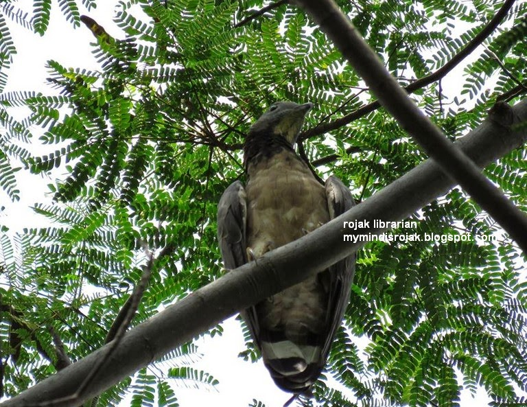 Oriental Honey-buzzard in Bidadari