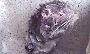 What Is Shower Rat? This Video Of A Rodent Bathing Like A Human