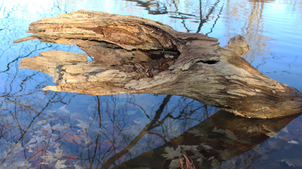Dead fallen tree decaying in water