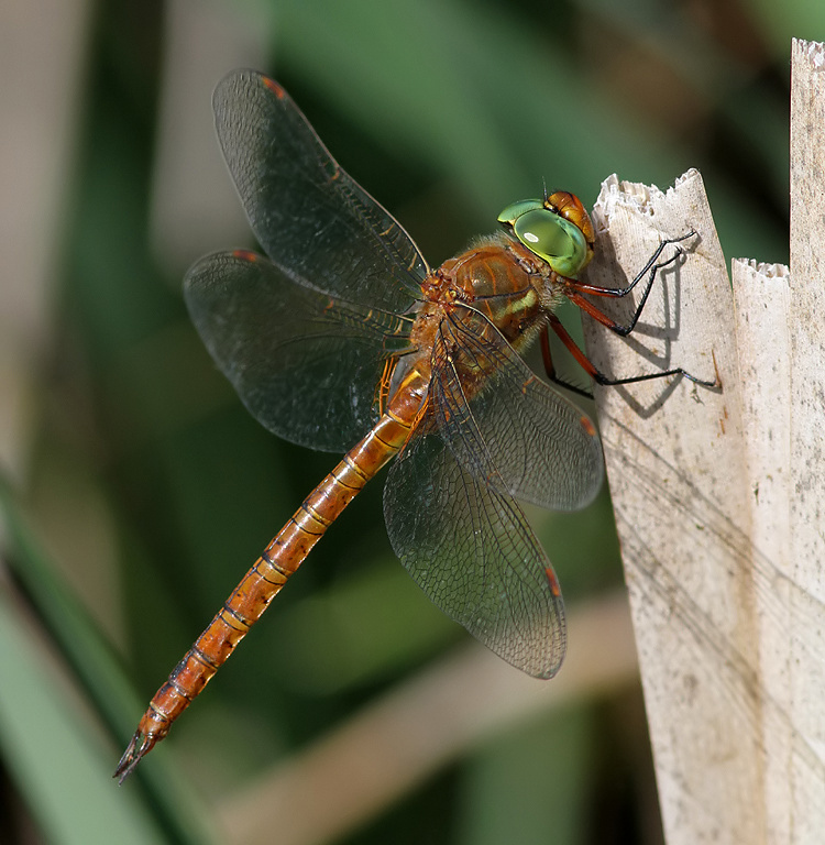 Kent Dragonflies: A Good Year for the Norfolk Hawker in Kent