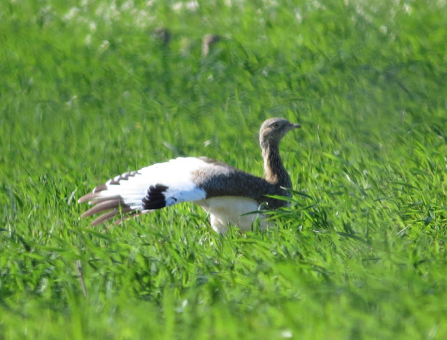 Little Bustard - Portugal